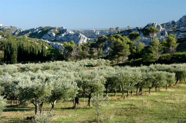 Création d'une oliveraie