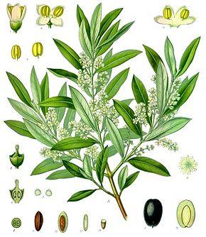 Cycle végétatif et productif de l'olivier