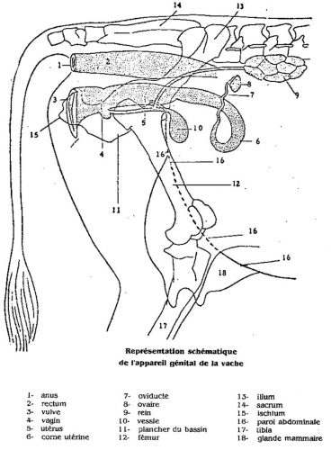L'INSIMINATION ARTIFICIELLE : APPAREIL GÉNITALE DE LA VACHE
