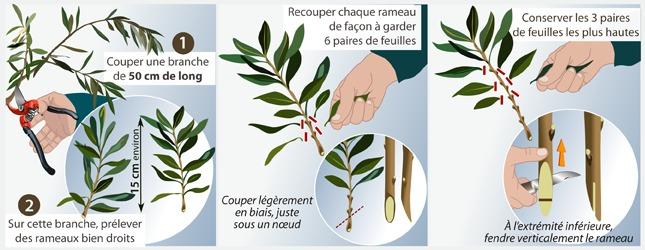 TECHNIQUE DE MULTIPLICATION DE L'OLIVIER PAR BOUTURAGE HERBACE