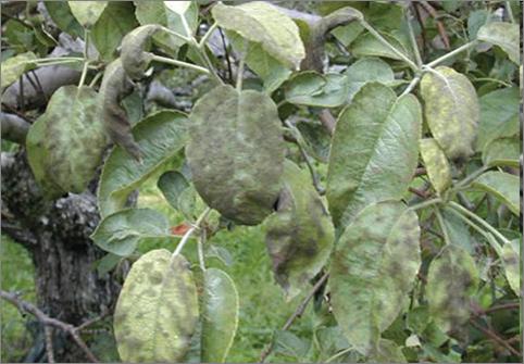 Tavelure اعراض جرب التفاح و الاجاص