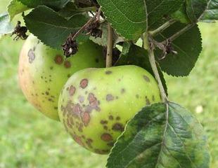 امراض أشجار التفاح و الاجاص : Tavelure اعراض جرب التفاح و الاجاص