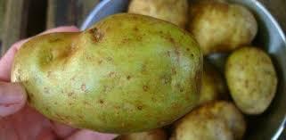 اخضرار درنات البطاطا