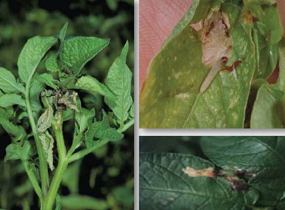 اعراض افة مرض فراشة البطاطا على المجموع الخضري للبطاطا