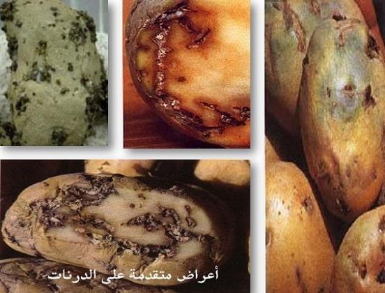 اعراض افة مرض فراشة البطاطا على درنات البطاطا