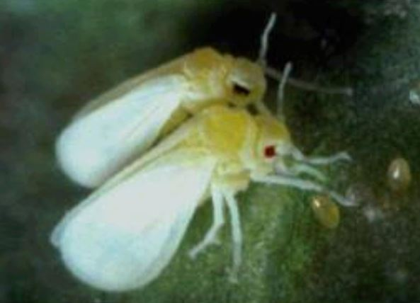 الذبابة البيضاء للبطاطا