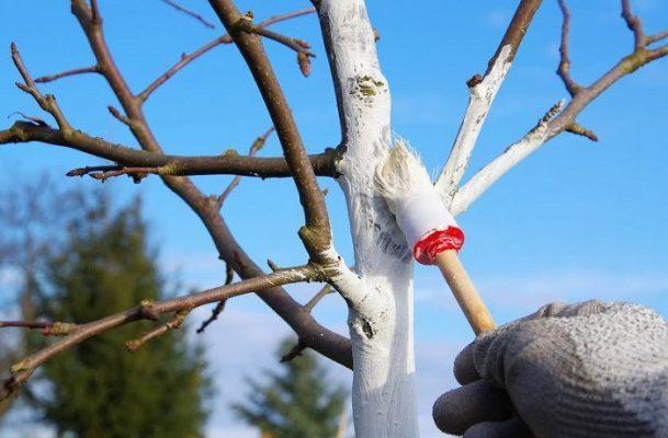 عملية اضافية لوقاية الاشجار المثمرة باستعمال الجير