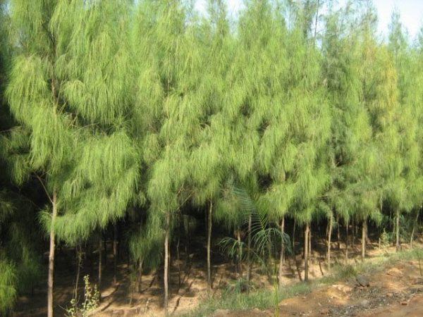 Casuarina spp شجرةالكازورينا