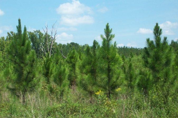 Pinales شجرة الصنوبريات