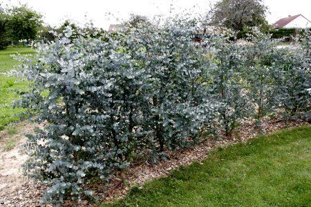 Eucalyptus spp الكافور