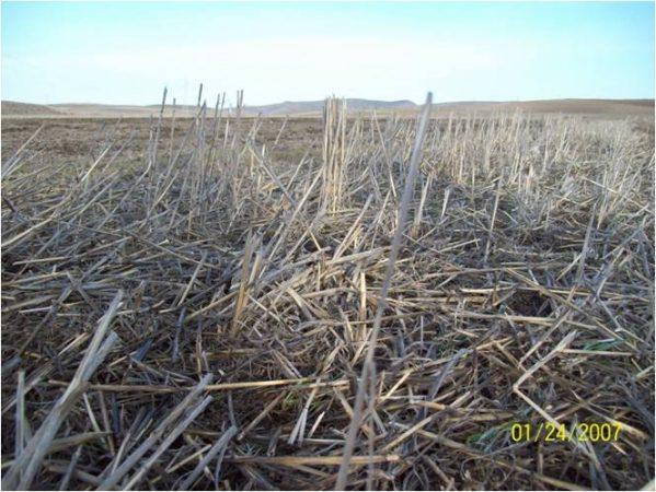 Le couvert après blé dur en condition des hautes plaines sétifiennes