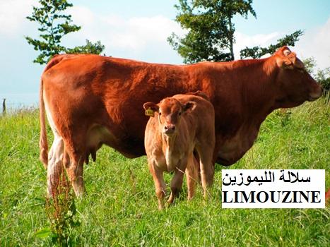 سلالة الليموزين LIMOUZINE