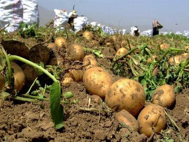 الأعراض الناجمة عن مبيدات الأعشاب على نباتات البطاطا