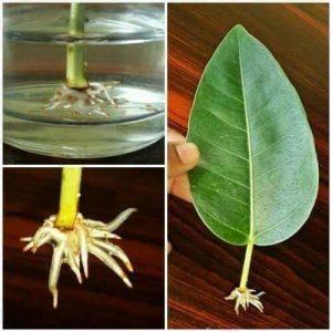 اكثار النباتات و الاشجار المثمرة
