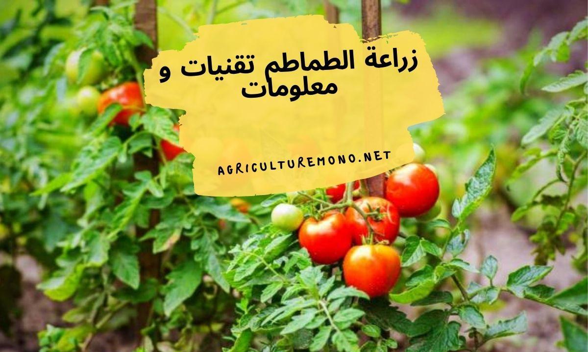 زراعة الطماطم تقنيات و معلومات